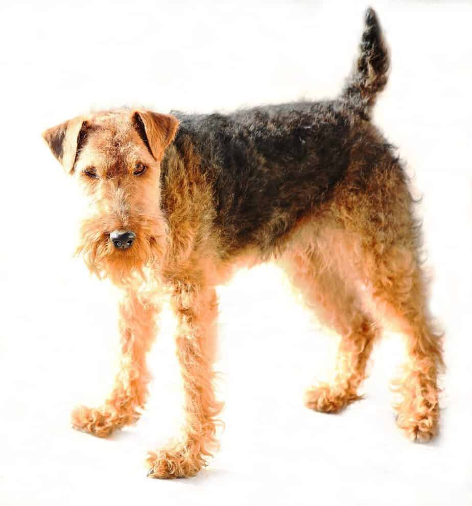 welsh terrier standing on white background