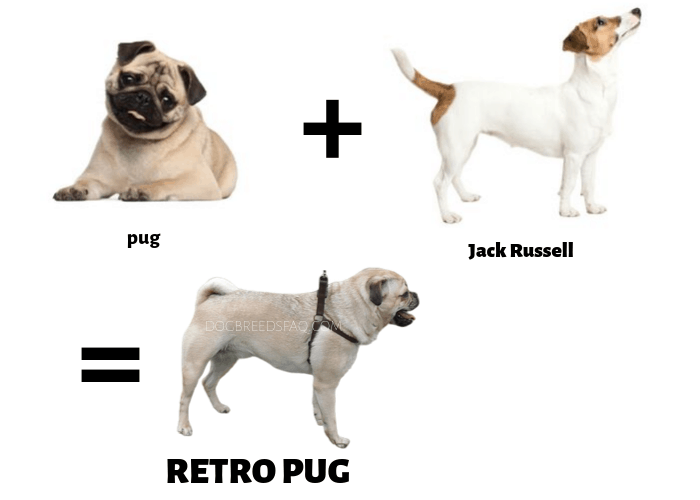 what is a retro pug illustration