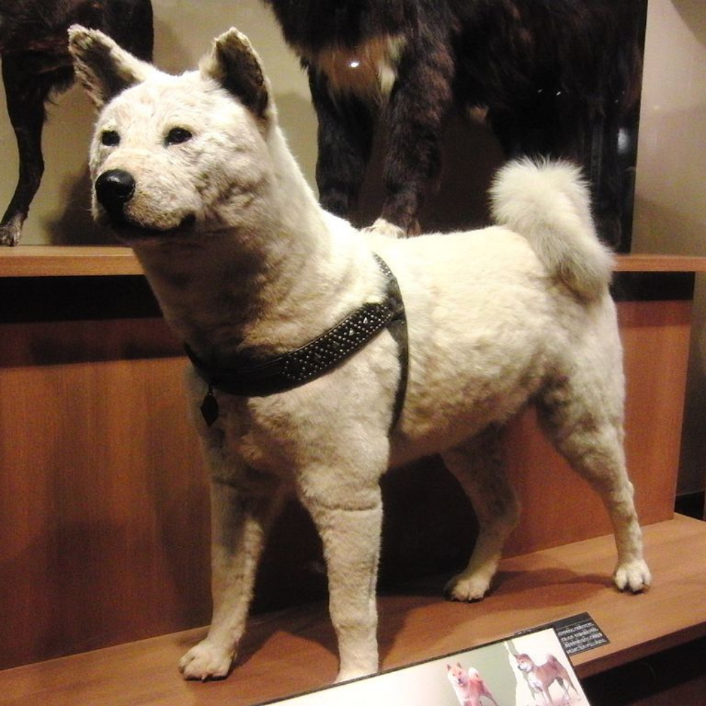 what kind of dog is hachi image