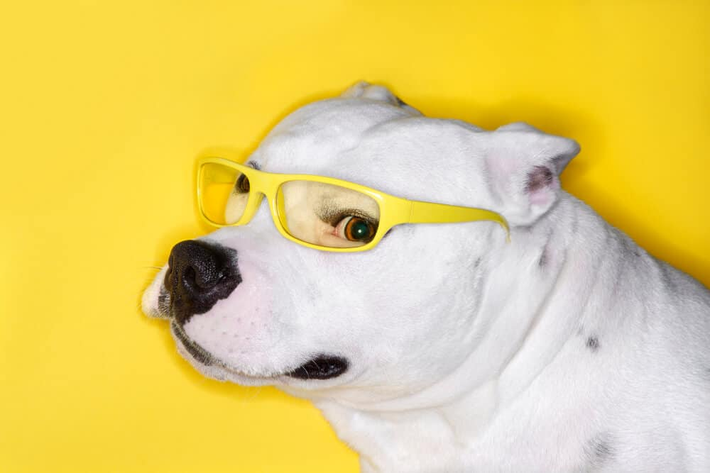 white pit bull dog breed on yellow background