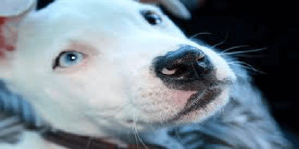 white pit bull with blue eyes on dark background