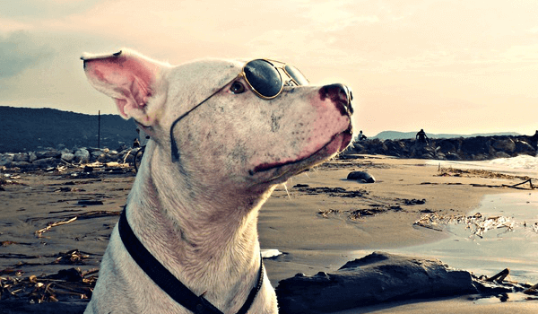 white pit bull with sunglasses looking at the sky near the seashore