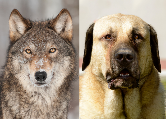 wolf and kangal side by side photo