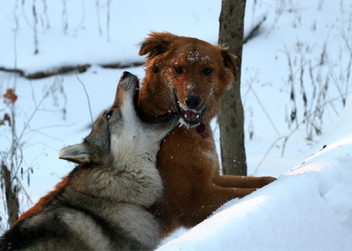 wolf attacking a dog
