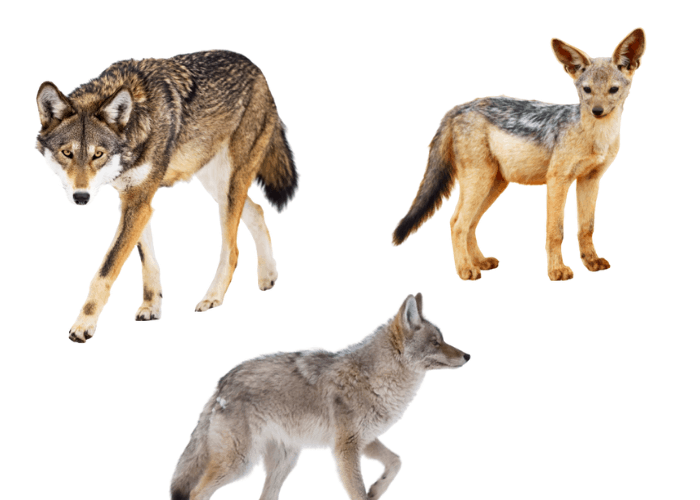 wolf, coyote and jackal