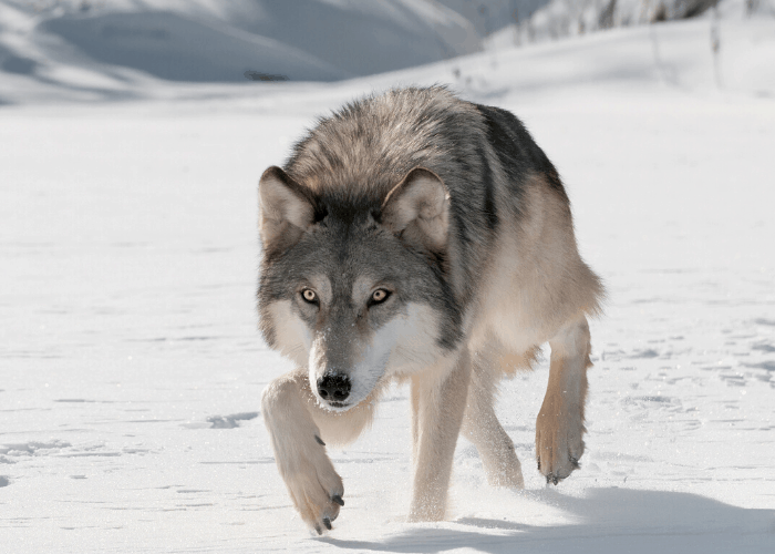 wolf walking in the snow