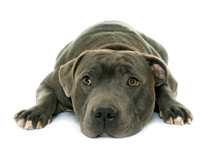 youing Staffordshire bull terrier close up image on white background